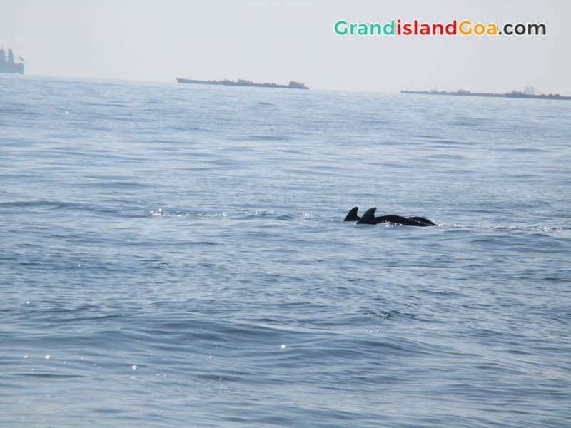 Dolphin-Trip-in-Goa